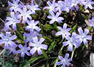 Chionodoxa luciliae, Glory-of-the-snow
