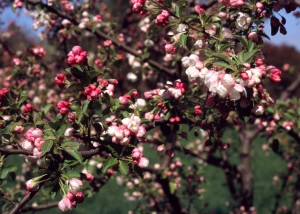 Malus 'David' fl